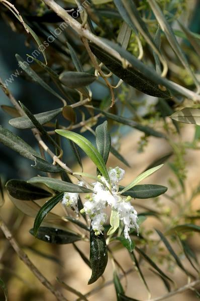Maladies de l olivier spider mites on a bonsai tree olivier olivier cultiv maladies de l - Psylle de l olivier ...